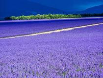 Lavender Field on the Valensole plateau von Danita Delimont