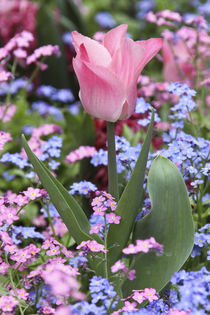A tulip at Luxembourg Gardens, Paris, France by Danita Delimont