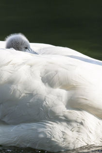 Mute Swan, Germany by Danita Delimont