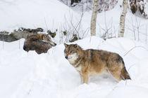 Gray wolf von Danita Delimont