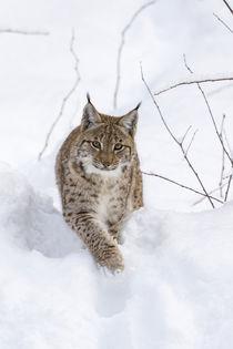 Eurasian lynx by Danita Delimont