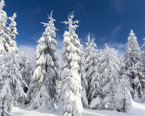 Snowy forest in the NP Bavarian Forest, Germany von Danita Delimont