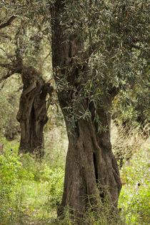 Greece, Thessaly, Ano Gatzea, Pelion Peninsula, olive grove von Danita Delimont