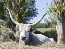 Hungarian Grey Cattle, Hungary by Danita Delimont