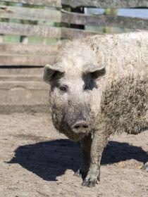Mangalictsa pig Hungary by Danita Delimont
