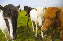 Dyrholaey. Icelandic horses on a farm. von Danita Delimont