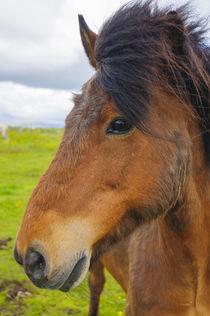 Eyrarbakki. Icelandic horse. von Danita Delimont
