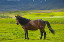 South Region. Mossfellsbaer. Icelandic horse by Danita Delimont