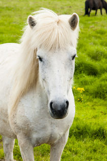South Region. Selfoss. Icelandic horse. by Danita Delimont