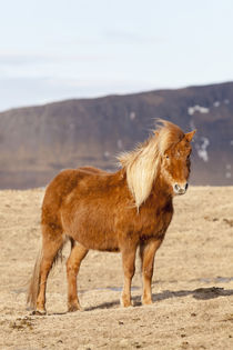 Icelandic Horse in winter on Iceland by Danita Delimont