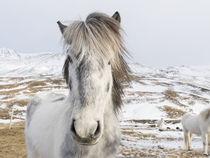 Icelandic Horse, Iceland by Danita Delimont