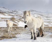 Icelandic Horse, Iceland von Danita Delimont
