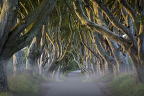 Misty dawn at Beech tree-lined road known as the Dark Hedges... by Danita Delimont