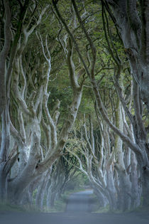 18th Century Beech Tree lined road known as the Dark Hedges ... von Danita Delimont