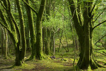 Mossy trees near Torc Waterfalls, Killarney National Park, C... by Danita Delimont