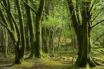 Mossy trees near Torc Waterfalls, Killarney National Park, C... von Danita Delimont