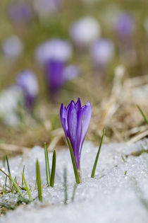 Spring-Crokus in Alps during snow melt by Danita Delimont