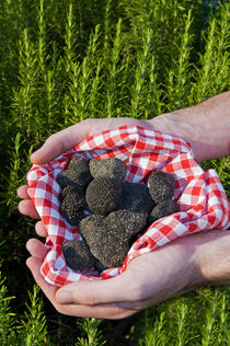Hands holding a Summer black truffles, and rosemary behind, M von Danita Delimont