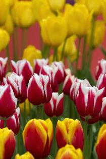 Tulips in Keukenhof, Lisse, Netherlands von Danita Delimont
