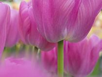 The Netherlands, Lisse, Keukenhof Gardens von Danita Delimont
