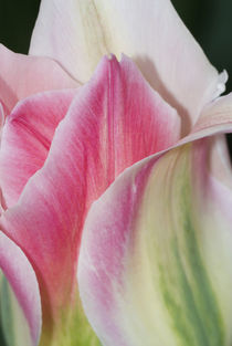 Florissa Tulip Close up by Danita Delimont