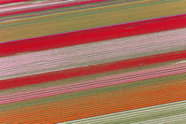 Tulip fields, North Holland, Netherlands by Danita Delimont