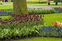 A manicured flower garden of tulips and grape hyacinths by Danita Delimont