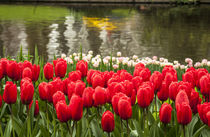 Cluster of tulips in reds and whites with colorful reflectio... von Danita Delimont