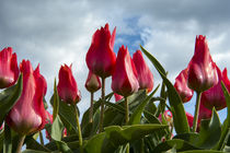 A bunch of red tulips rising up to the blue sky after a rain by Danita Delimont