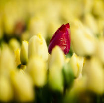 One red tulip growing amongst all a field of all yellow. by Danita Delimont