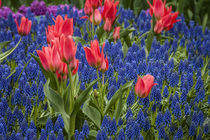 Tulips growing amidst clusters of grape hyacinths by Danita Delimont