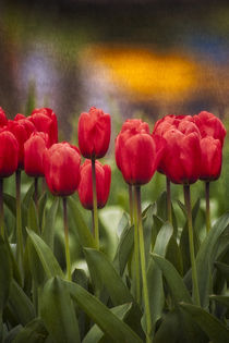 Red Tulips in foreground with lake and yellow flower reflect... von Danita Delimont