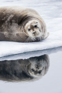 Norway, Svalbard, pack ice, Bearded Seal on ice. von Danita Delimont