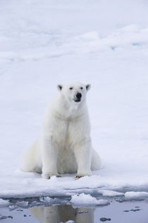Norway, Svalbard, pack ice, female polar bear . von Danita Delimont
