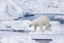 Norway, Svalbard, polar bear sniffing out old carcass. von Danita Delimont