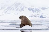 Arctic, Norway, Svalbard, Spitsbergen, pack ice, walrus Walr... von Danita Delimont