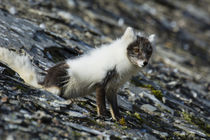 Svalbard. Barentsoya. Freemansundet. Arctic fox in a mixed c... by Danita Delimont