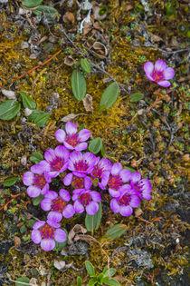 Svalbard. Bellsund. Camp Millar. Purple saxifrage . von Danita Delimont