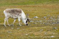 Svalbard. Bellsund. Camp Millar. Svalbard reindeer grazing. von Danita Delimont