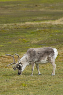 Svalbard. Bellsund. Camp Millar. Svalbard reindeer grazing. by Danita Delimont