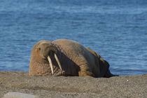 Svalbard. Edgeoya. Doleritnesset. Atlantic walrus lazing on the beach. by Danita Delimont