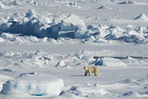 Svalbard. Hinlopen Strait. Polar bear walking on the drift ice. von Danita Delimont