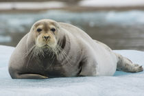 Svalbard. Krossfjord. 14th of July glacier. Bearded seal on ... von Danita Delimont