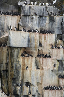Svalbard. Spitsbergen. Alkefjellet. Cliffside colony of comm... von Danita Delimont