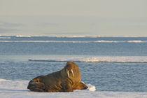 Greenland Sea, Norway, Svalbard Archipelago, Spitsbergen von Danita Delimont