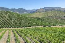 Portugal, Figueira de Castelo Rodrigo, vineyards von Danita Delimont