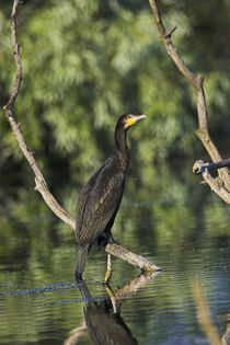 Eurasian Cormorant in the Danube Delta by Danita Delimont
