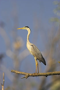 Grey Heron in the Danube Delta, Romania by Danita Delimont