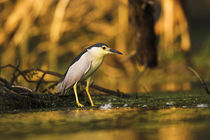 Black-crowned Night Heron, Danube Delta von Danita Delimont
