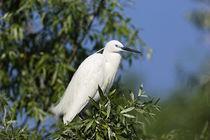 Little Egret in the Danube Delta, Romania by Danita Delimont